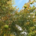 Hedge apples and cancer cure for home info