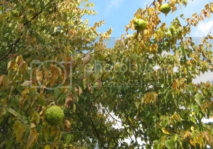 Hedge Apples And Cancer Cure