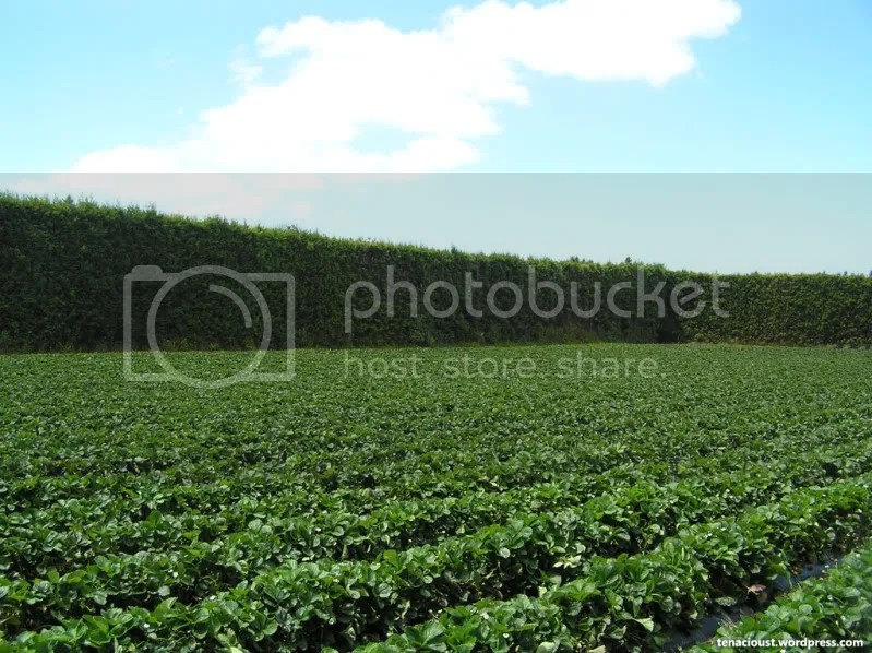 Strawberry Orchard