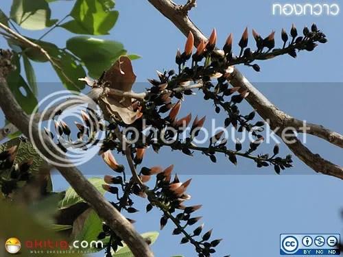 ทองกวาว, จอมทอง, ทองต้น, ดอกจาน, Butea monosperma, Butea frondosa, Erythrina monosperma, Plaso monosperma, Kinshuk, Palash, Dhak, Flame of the Forest, Bastard Teak, Parrot Tree