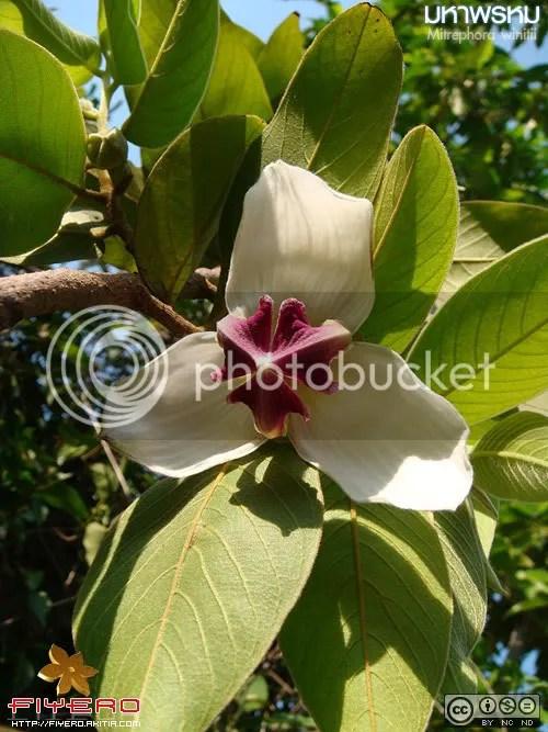 มหาพรหม, Mitrephora winitii, ดอกสวย, ดอกไม้, ต้นไม้, มหาพรหม, วงศ์กระดังงา, สกุลมหาพรม, ไม้ถิ่นเดียว