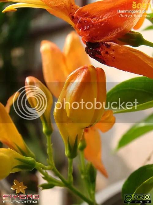 รัถยา, รัตติยา, Ruttya fruticosa, Hummingbird Plant, Rabbit Ears, ต้นไม้, ดอกไม้