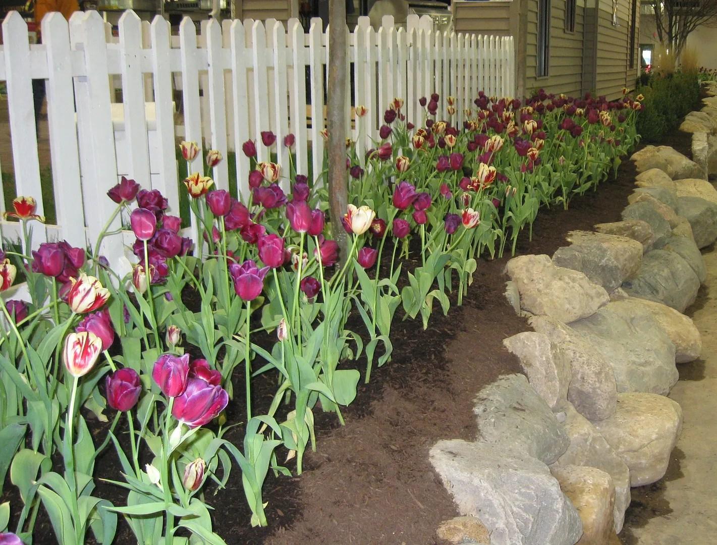 infinite tulips, Indiana
