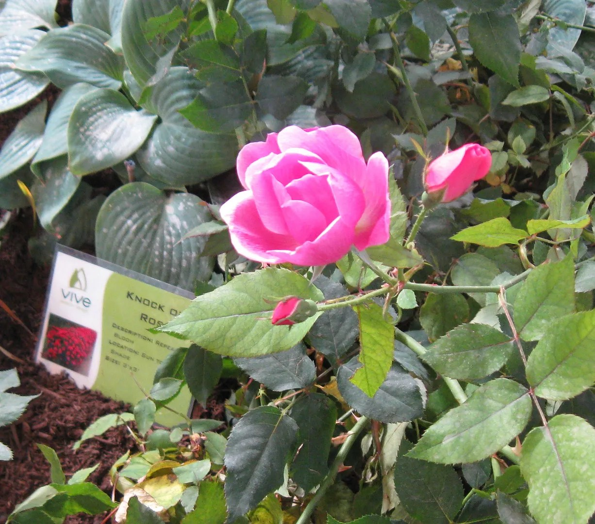 Indiana, Knock Out Rose