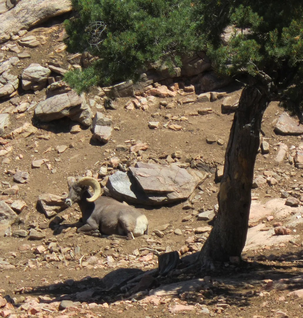 bighorn sheep, Royal Gorge Bridge, Canon City, Colorado