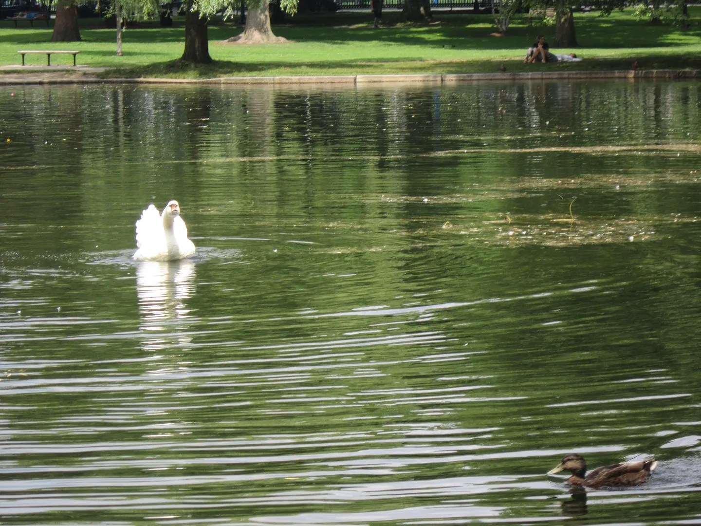 swan, duck, Boston Public Garden
