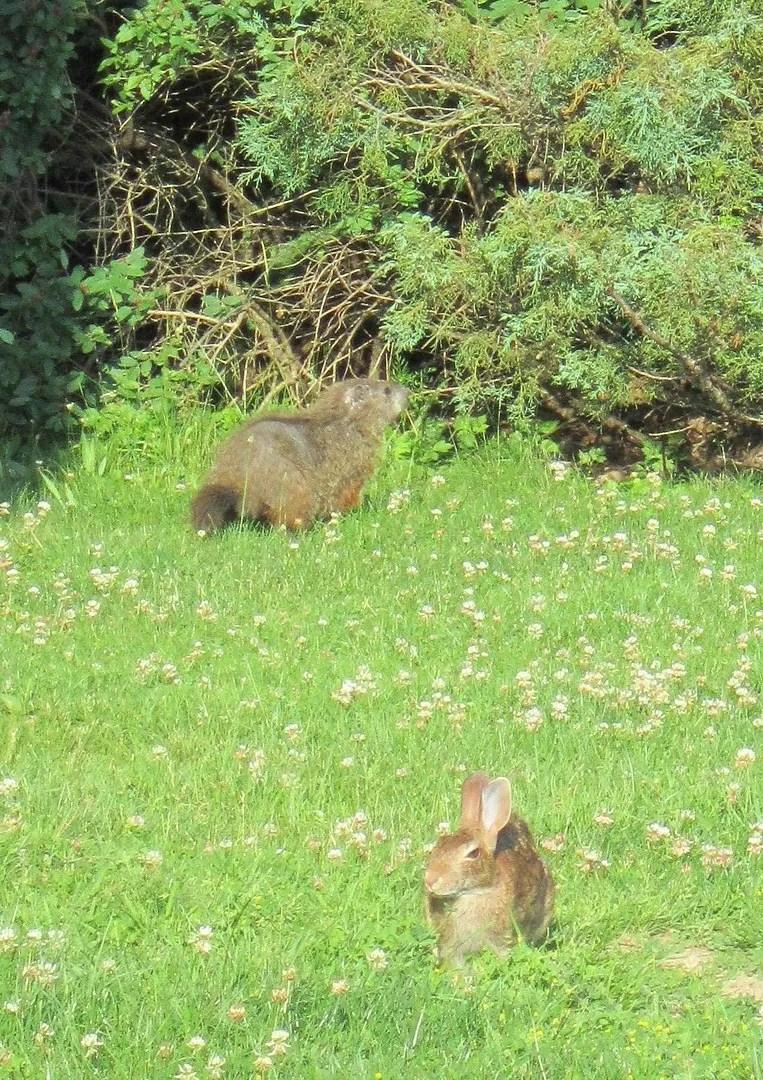 bunny rabbit, groundhog, Pennsylvania