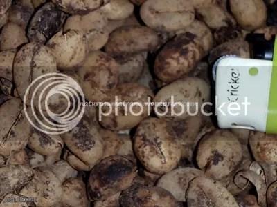 Kopi Luwak sebagai salah satu produk dari tanaman Kopi yang selalu dikonsumsi oleh masyarakat Rantau Kermas