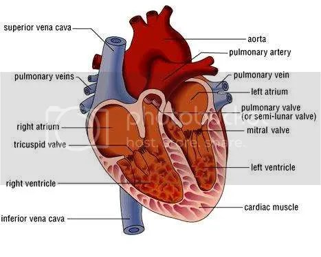 realistic heart diagram ceiling fan wiring with regulator torkanokul human labeled