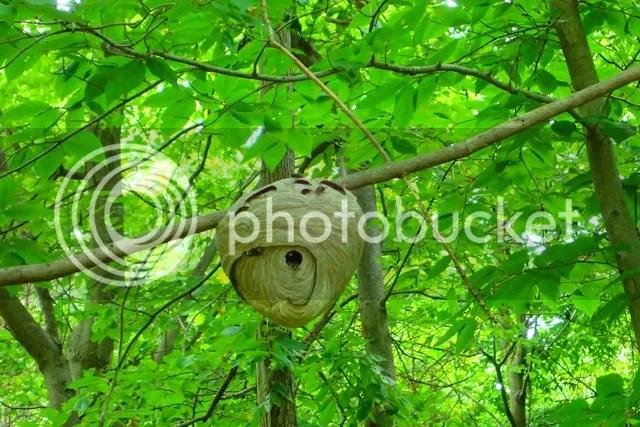 photo 8 Hornet nest_zps791bav2n.jpg