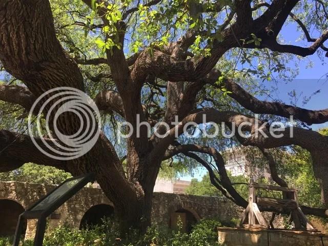 photo Alamo tree_zpseupn0spg.jpg