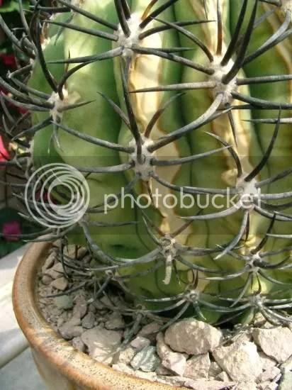Macchia biancagialla su pianta grassatroppo sole