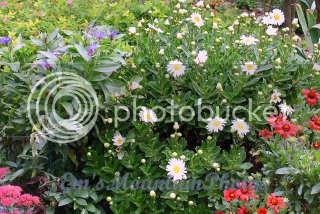 Montauk daisies Nipponanthemum nipponicum growing