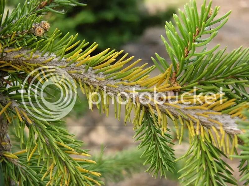 Brown needles on Weeping Norway Spruce