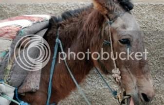 horse tired, keldai penat, keldai puasa