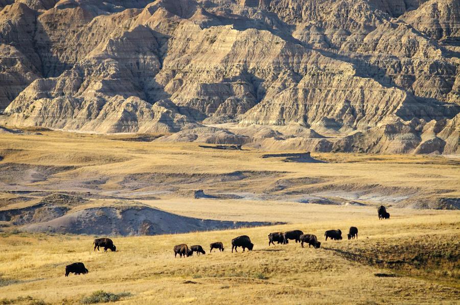 Buffalo in Badlands National Park