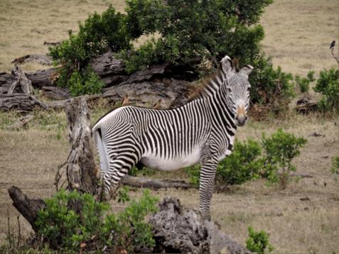 Grevy's zebra on Ol Pejeta