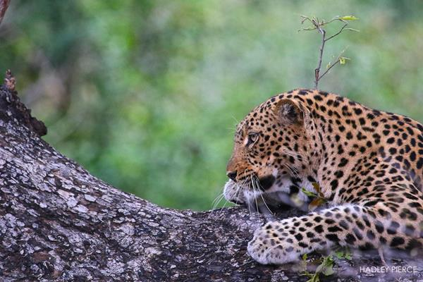 Leopard6OctHadley4.094314.jpg
