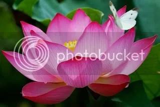 La flor de loto, belleza y fertilidad