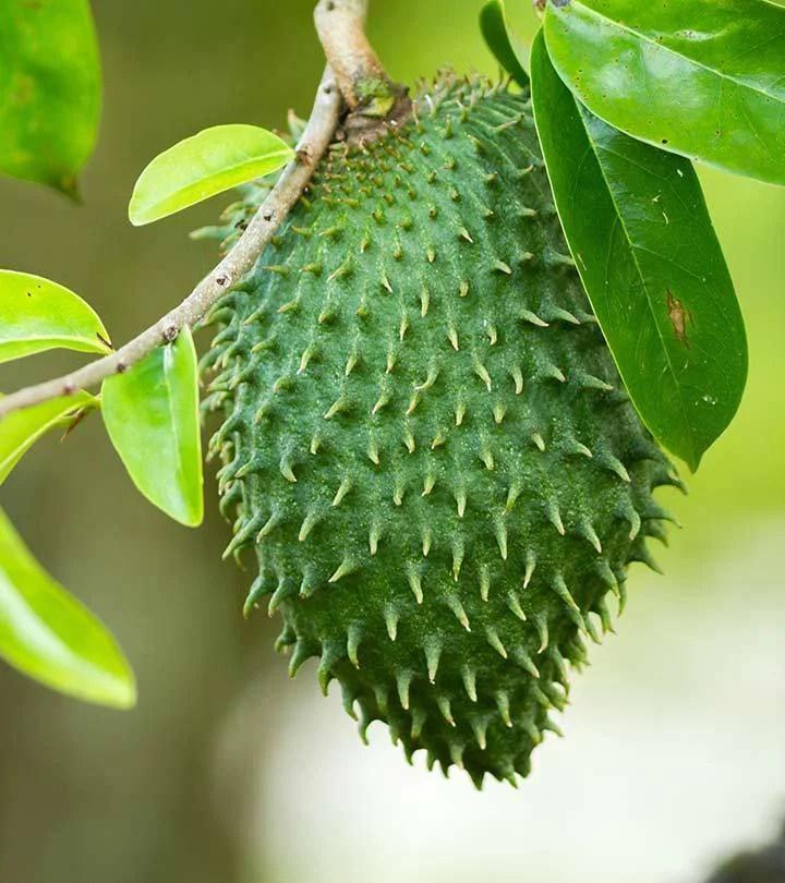 Guanabana Graviola Soursop Tree Plant - 1 Gallon - Walmart ...