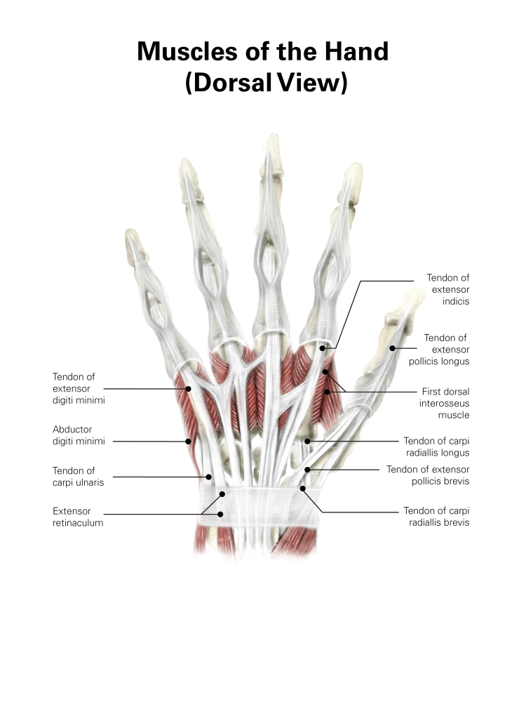 muscle diagram dorsal 2002 f150 wiring digital illustration of muscles the hand view poster print by alan gesekstocktrek images walmart com