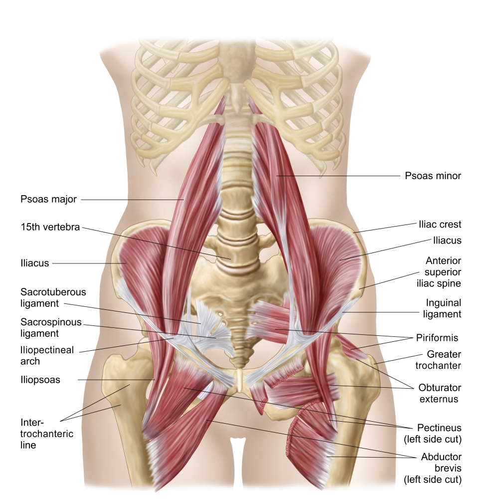 medium resolution of anatomy of iliopsoa often referred to as the dorsal hip muscles these muscles are distinct in the abdomen poster print walmart com