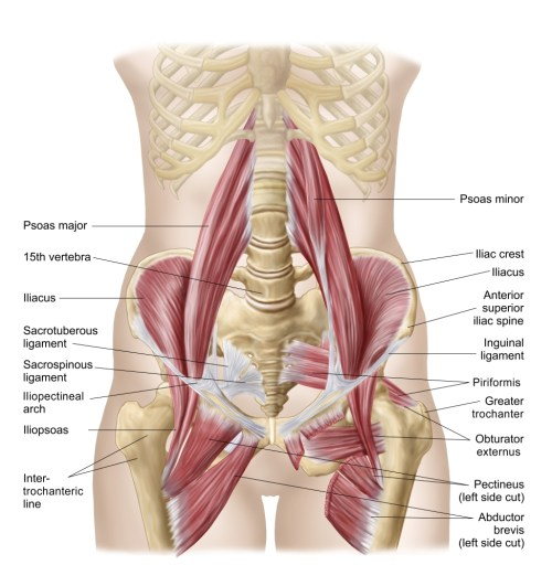 small resolution of anatomy of iliopsoa often referred to as the dorsal hip muscles these muscles are distinct in the abdomen poster print walmart com