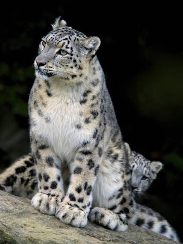 Snow Leopard Uncia Panthera Nepal Print