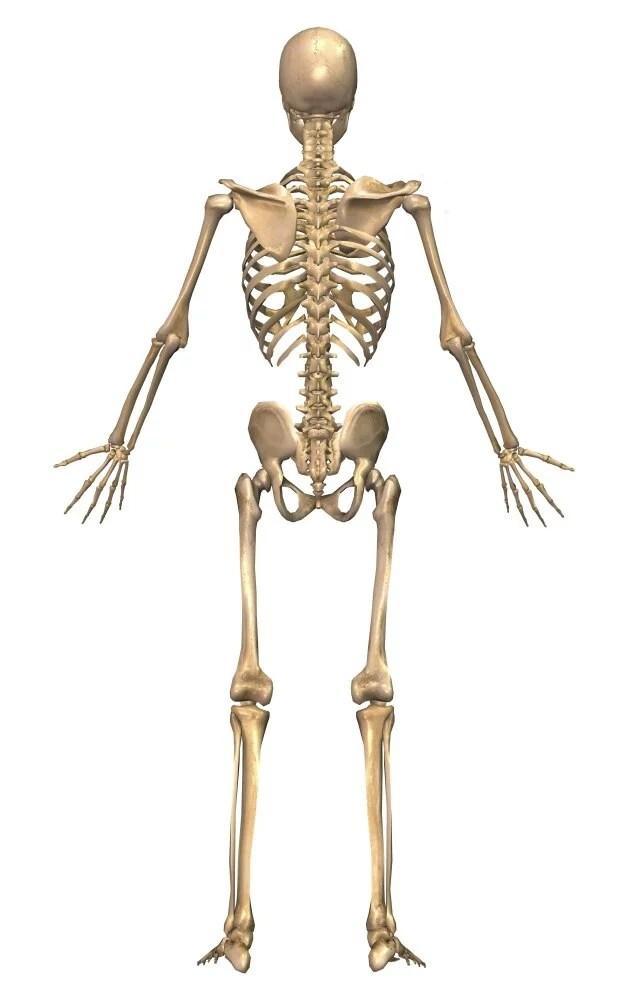 human skeletal system back view poster print walmart com