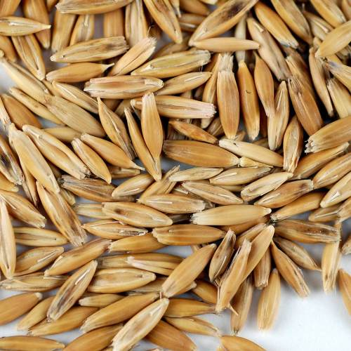 small resolution of organic non gmo whole oat grain seeds with husk intact 3 5 lb re sealable can oats seed grains for sprouting oat grass animal feed storage more