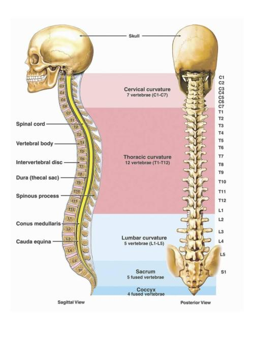 small resolution of illustration of the anatomy of the human spine or vertebral column print wall art by nucleus medical art walmart com