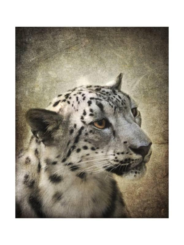Snow Leopard Portrait Print Wall Art Jai Johnson