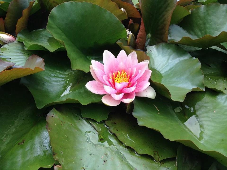 Beautiful Pond Water Rose Aquatic Plant Pond Plant-20 Inch ...