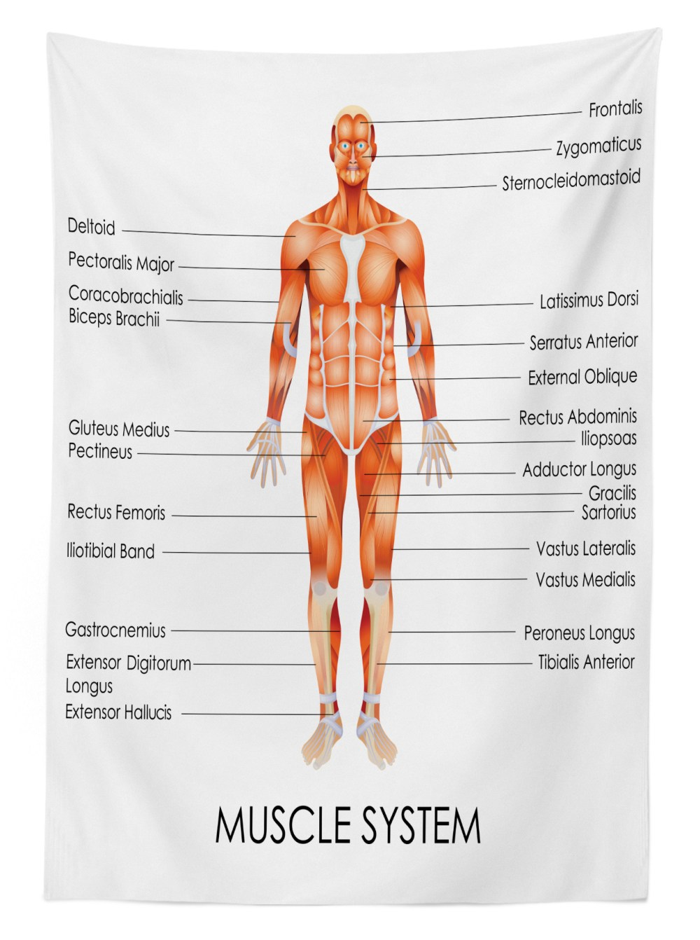 medium resolution of human anatomy outdoor tablecloth muscle system diagram of man body features biological elements medical heath image decorative washable fabric picnic