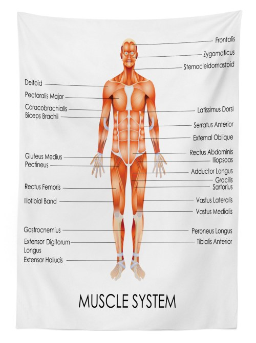 small resolution of human anatomy outdoor tablecloth muscle system diagram of man body features biological elements medical heath image decorative washable fabric picnic