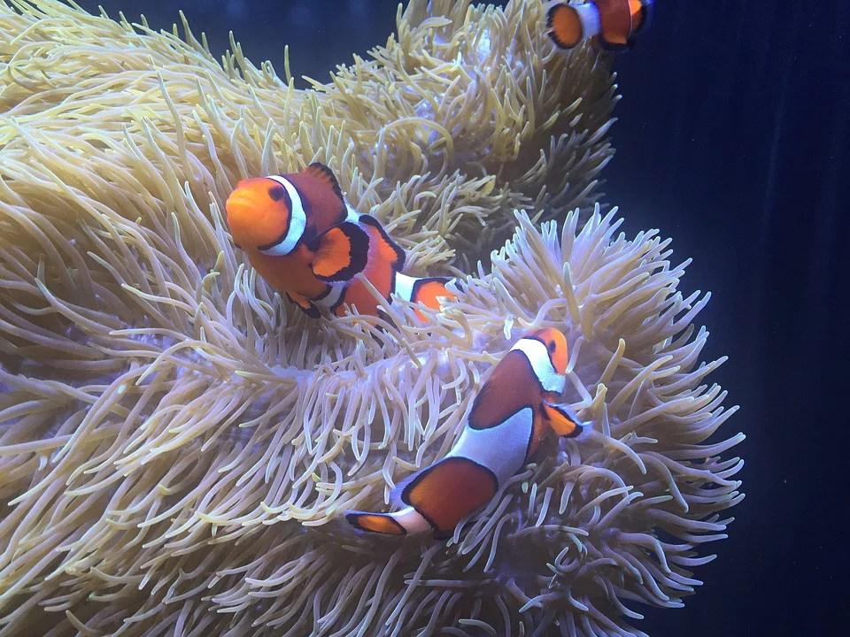 laminated poster aquarium anemone