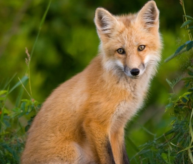 Young Red Fox Point Prim Prince Edward Island Canvas Art John Sylvester Design Pics