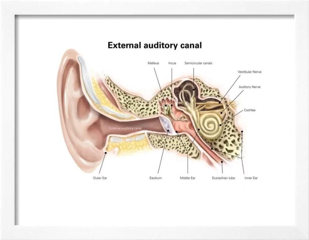 medium resolution of external auditory canal of human ear with labels framed print wall art walmart com
