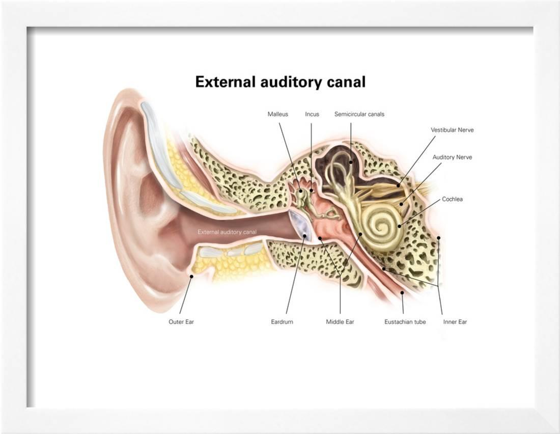 hight resolution of external auditory canal of human ear with labels framed print wall art walmart com
