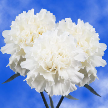 globalrose 200 carnations white