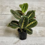 Prayer Plant Red Leafs Maranta Leuconeura Plants Easy In Grow Pot House Plant Unique Oval Leaves Plants Home Office Decor Air Purifying Indoor Outdoor Plants 4 Grower Pot Walmart Canada