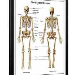 full body anterior and posterior anatomy of the human skeletal system framed print wall art by nucleus medical art walmart com [ 846 x 1100 Pixel ]