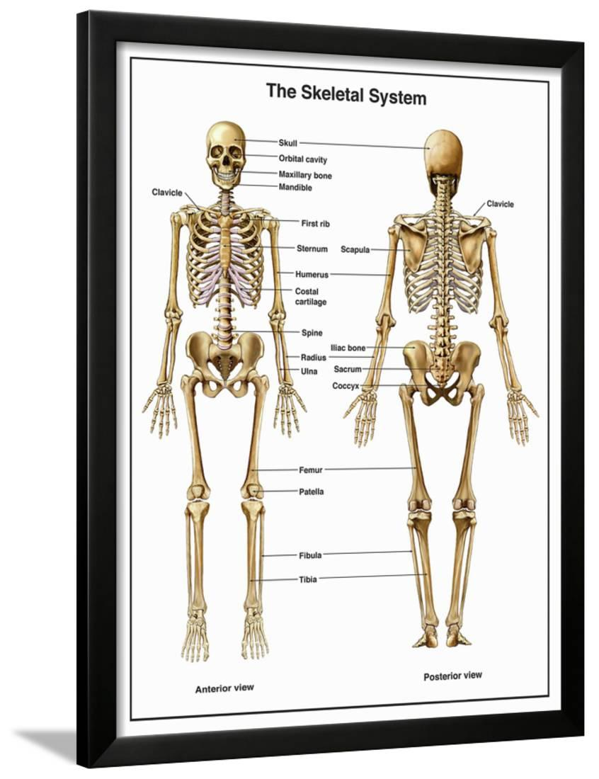 medium resolution of full body anterior and posterior anatomy of the human skeletal system framed print wall art by nucleus medical art walmart com