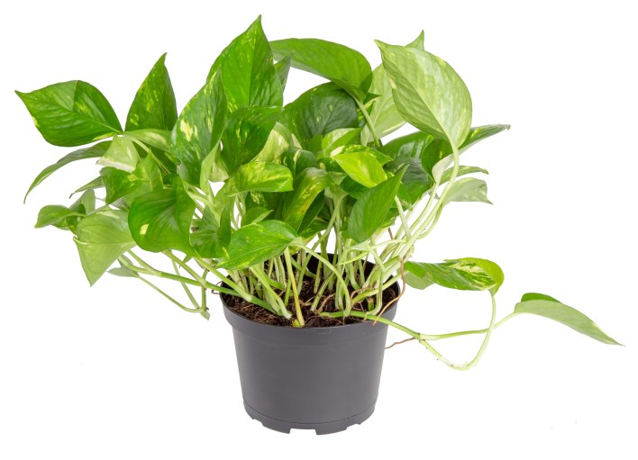 Great Plants To Have In The House Pothos are great to have in the house