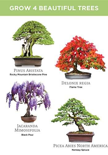 Royal Poinciana Bonsai : royal, poinciana, bonsai, Planters', Choice, Bonsai, Starter, Walmart.com