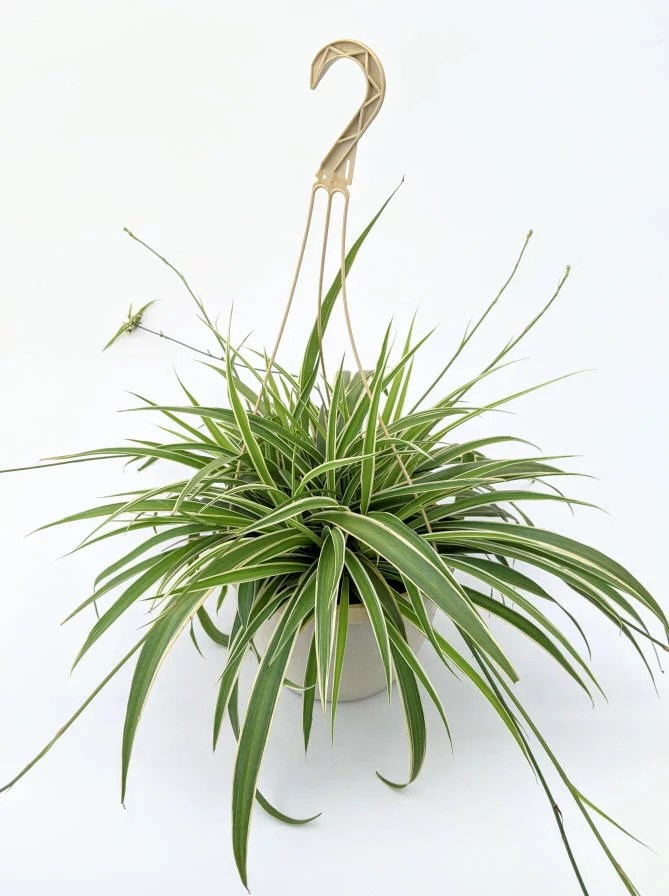 Great Plants To Have In The House Expert Gardener Live Chlorophytum Plant in a Decorative Hanging Basket -  1.5 Gallon