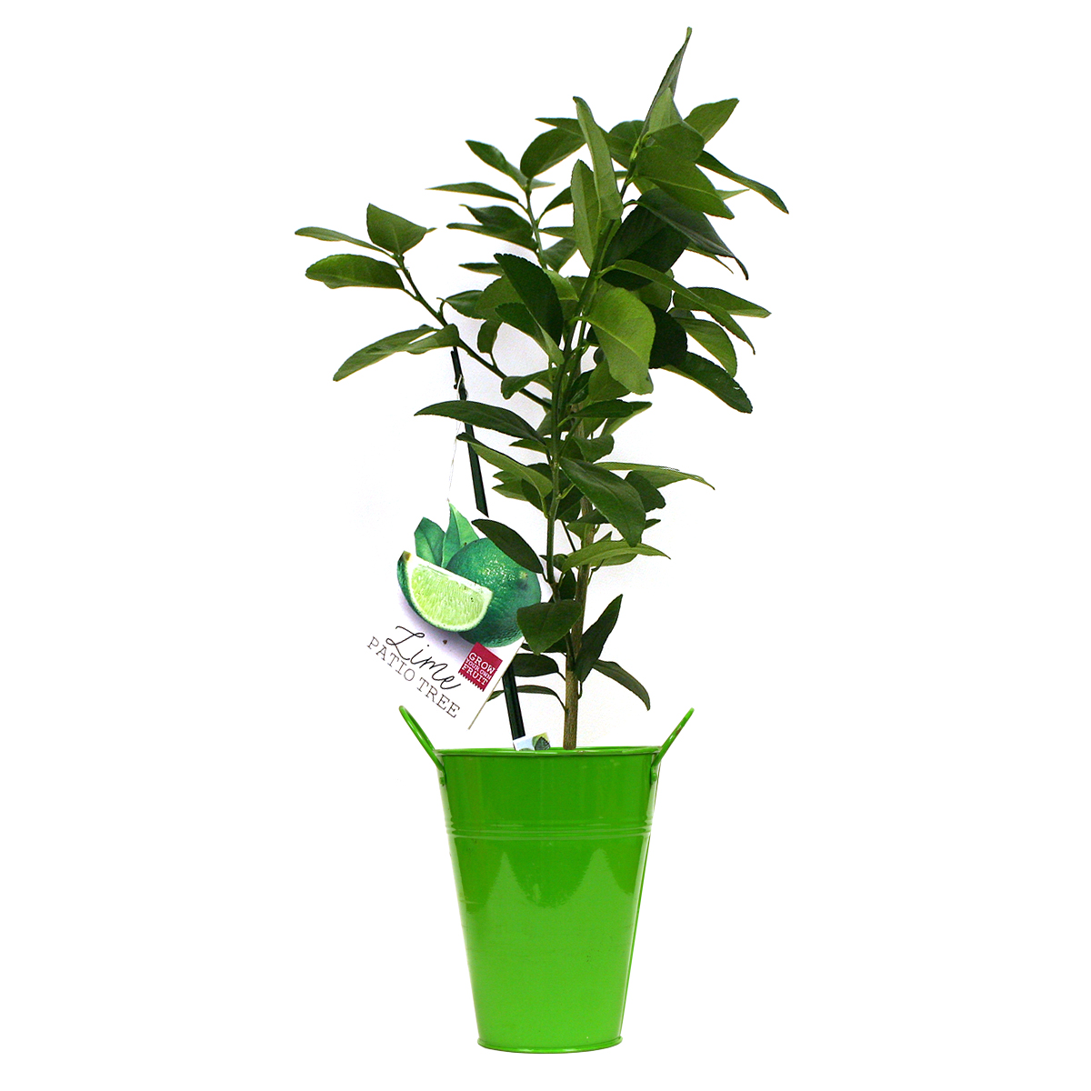 van zyverden persian lime citrus tree in decorative patio planter