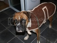 Boxer Dog Coats Pictures to Pin on Pinterest - PinsDaddy