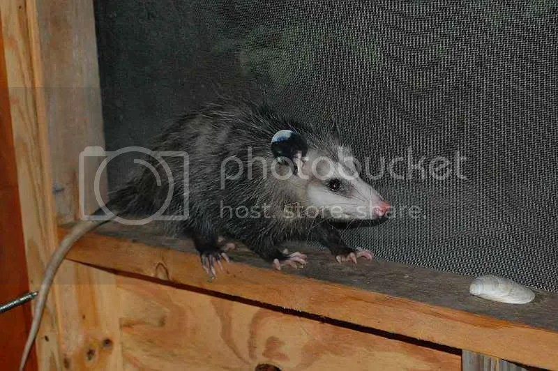 plastic see through chair us leisure adirondack how to get an opossum off your porch!