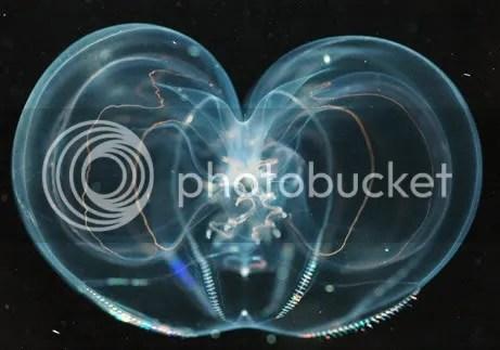 Thalassocalyce 461 Criaturas inacreditáveis do fundo do mar   parte 2   Curiosidades